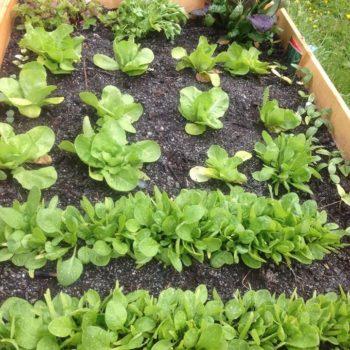 Utendørs pallekarm/plantekasse hvor det vokser salat og urter